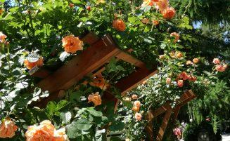 Rozariul Grădinii Botanice – Colecţie de trandafiri unică în România, recunoscută de către The World Federation of Rose Societies